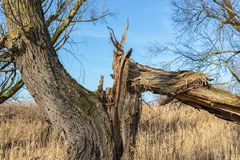 Wetlands of Dutch National Park Oostvaardersplassen with broken tree stock photo