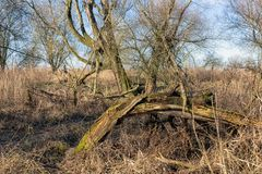 Wetlands of Dutch National Park Oostvaardersplassen with broken tree royalty free stock photos
