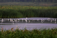Wetlands and flocks of Snowy Egrets Stock Images
