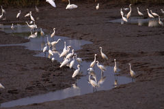 Wetlands and flocks of Snowy Egrets Stock Image