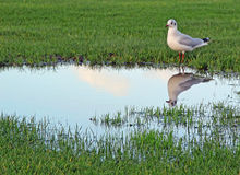Wetlands flooding and  seagull bird Stock Photo
