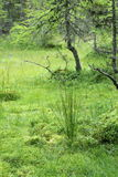 Wetlands grass and crippled larch tree Stock Image