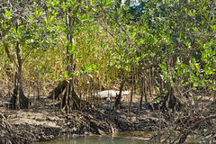 Wetlands with mangroves and the crocodile Stock Images