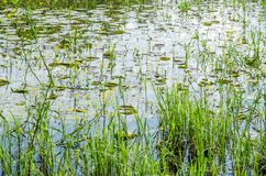 Young yellow lilies in the water wetlands. Wetlands in Petrovaradin near the city of Novi Sad by the river Danube stock photo