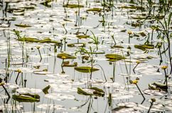Young yellow lilies in the water wetlands. Wetlands in Petrovaradin near the city of Novi Sad by the river Danube royalty free stock photos