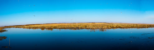 Wetlands Seagull(panorama) Royalty Free Stock Images