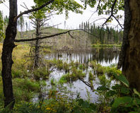Wetlands, a swamp created by beavers Stock Photos