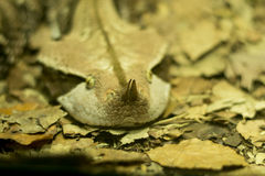 Wets African Gaboon Viper Stock Photos