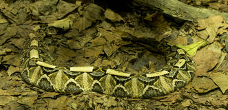 Wets African Gaboon Viper. Bitis gabonica, commonly known as the Gaboon viper, is a venomous viper species found in the rainforests and savannas of sub-Saharan royalty free stock images