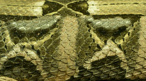 Wets African Gaboon Viper (Detail). Bitis gabonica, commonly known as the Gaboon viper, is a venomous viper species found in the rainforests and savannas of sub Royalty Free Stock Photo
