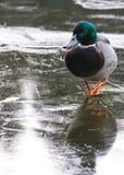 Wetterkonzept, Ente auf gefrorenem Teich Lizenzfreie Stockfotos