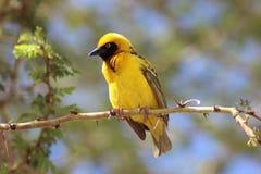 Weversvogel met zwarte kop in boom stock foto