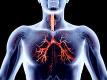 Wewnętrzni organy - Oskrzelowe arterie royalty ilustracja
