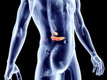 Wewnętrzni organy - Biliary ilustracja wektor