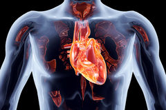 Wewnętrzni organy - serce Obraz Stock