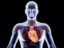 Wewnętrzni organy - serce Obraz Royalty Free