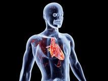 Wewnętrzni organy - serce Zdjęcia Stock
