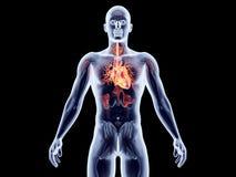 Wewnętrzni organy - serce Zdjęcie Stock