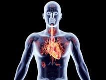 Wewnętrzni organy - serce Fotografia Royalty Free