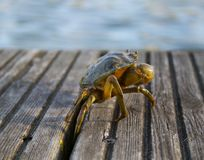 Weymouth crab Royalty Free Stock Photo