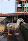 Whacky Duck Royalty Free Stock Images