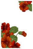 Whaite background with nasturtium for design cards and invitations. Garden orange flower Royalty Free Stock Images
