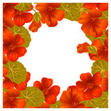Whaite background with nasturtium for design cards and invitations. Garden orange flower Royalty Free Stock Photo