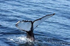 Whale. Tail of whale in the ocean stock photo