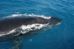 Whale. Southern Humpback Whale in Hervey Bay, Australia Stock Photography