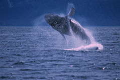 Whale. Humpback whale breaching. Frederick Sound SW Alaska Stock Photos