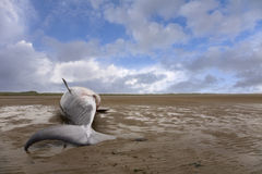 Whale. Minke whale carcass washed up on beach at Formby, UK Royalty Free Stock Photography