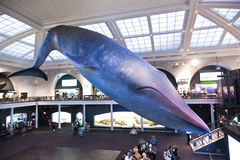Whale in the american museum for Stock Image