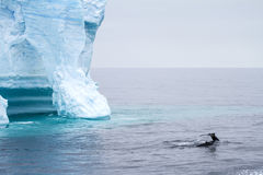 Whale - Antarctic Peninsula - Tabular Iceberg in Bransfield Stra Stock Photography