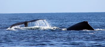 Free Whale At Los Cabos Mexico Excellent View Of Family Of Whales At Pacific Ocean Royalty Free Stock Images - 107042989