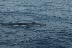 Whale in the Azores archipelago. Royalty Free Stock Photography