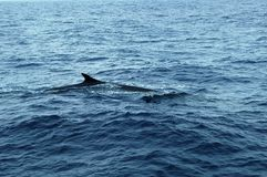Whale in the Azores archipelago. Stock Photo