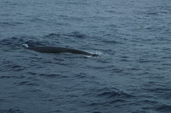Whale in the Azores archipelago. Royalty Free Stock Photo