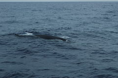 Whale in the Azores archipelago. Royalty Free Stock Photos