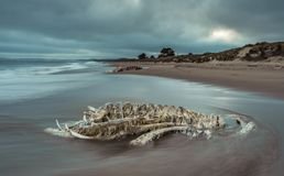 Decomposed beached whale bones with water and reflections. Whale backbone on beach. Long exposure photograph with moving water and dramatic sky stock photography