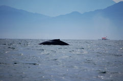 Whale in Bay of Banderas Royalty Free Stock Photo