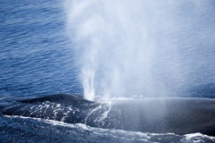 The whale is blowing!. Close-up on a sperm whale blowing at sea stock photos