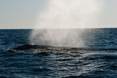 Whale Blowing Water in open water Stock Images