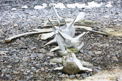Whale bones. Rest of whale bones on a beach in Antarctica Royalty Free Stock Image
