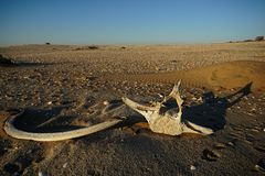 Whale bones lying on sand royalty free stock images