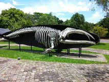 Whale bones at Unisinos, Sao Leopoldo, Brazil. This whale is standing at Unisinos university showing its bones Royalty Free Stock Photo