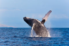 Whale breaching. Maui humpback whale breaching out of the water stock images