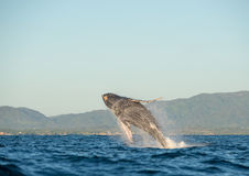 Whale breaching 4. A whale breaches in the pacific ocean royalty free stock images