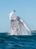 Whale breaching 3. A whale breaches in the pacific ocean stock photography