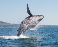 Whale breaching 3. A happy whale breaches close to shore royalty free stock photo