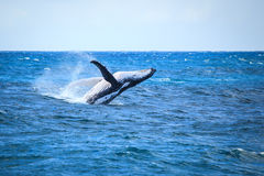 Whale breaching Stock Images